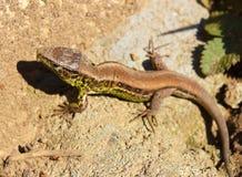 European green lizard in green grass. Stock Photography