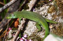 European green lizard (Lacerta viridis) Royalty Free Stock Photos