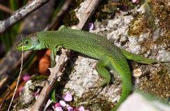 European green lizard (Lacerta viridis). A huge european green lizard (Lacerta viridis) moving through the undergrowth royalty free stock photos