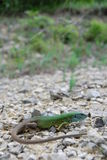 European green lizard (Lacerta viridis) Royalty Free Stock Image