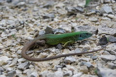 European green lizard (Lacerta viridis) Stock Images