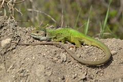 European green lizard (Lacerta viridis) Royalty Free Stock Photo