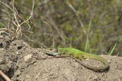 European green lizard (Lacerta viridis) Stock Images