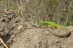European green lizard (Lacerta viridis) Stock Photography