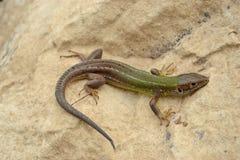 European green lizard (Lacerta viridis) Stock Image