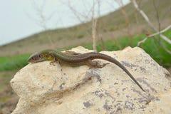 European green lizard (Lacerta viridis) Royalty Free Stock Images