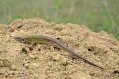 European green lizard (Lacerta viridis) Royalty Free Stock Photography