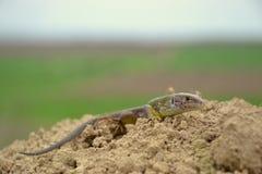 European green lizard (Lacerta viridis) Stock Photos