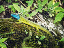 European green lizard (Lacerta viridis), animal scene Royalty Free Stock Image