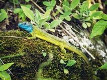 European green lizard (Lacerta viridis), animal scene Royalty Free Stock Image