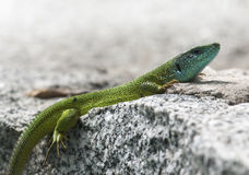 European green lizard (Lacerta viridis) Royalty Free Stock Photo