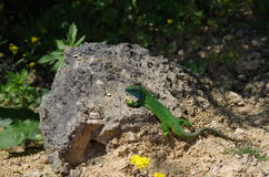 European green lizard Lacerta viridis stock photo
