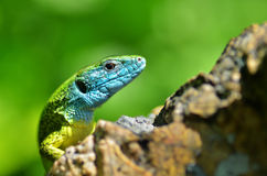 European green lizard. The European Green Lizard (Lacerta viridis) is a large lizard distributed across Europe Royalty Free Stock Images