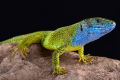European green lizard Lacerta viridis male. The European green lizard Lacerta viridis is a large, colorful, omnivorous lizard species found in Europe stock images