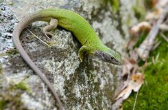 European green lizard (Lacerta viridis) Stock Photos