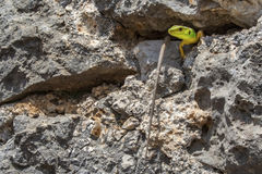 European Green Lizard Lacerta Viridis on rock at the castle of Parga Royalty Free Stock Image