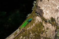 European Green Lizard or Lacerta Viridis Stock Images
