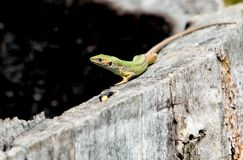 European green lizard,lacerta viridis Royalty Free Stock Image