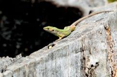 European green lizard,lacerta viridis. European green lizard on a wood logs Royalty Free Stock Image
