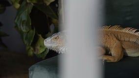 European green lizard macro portrait, wild animal trying to bite. Slow motion stock video footage