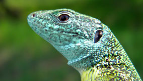 European Green Lizard - portrait. Adult male of Eastern European Green Lizard (Lacerta viridis) portrait, during reproduction season (you can notice its bright Stock Image
