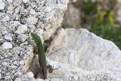 European green lizard Stock Image