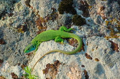 European green lizard on the stones. Royalty Free Stock Photo