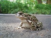 European Green Toad Stock Photos