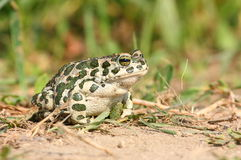European Green Toad Royalty Free Stock Photography