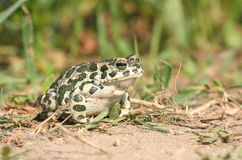 European green toad Stock Image