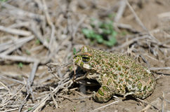 European green toad Stock Photo