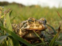 European green toad Bufo viridis. European green toad ( Bufo viridis ) caught during an evening stroll . Glint in her eye is the sun Royalty Free Stock Photography