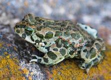 European green toad Bufo viridis. Closeup royalty free stock photography