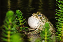 European green toad croaking for females Royalty Free Stock Image