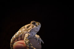 European green toad - Bufo viridis in mans hand, black background. European green toad Bufo viridis in a mans hand, with black background. Found at night in a Royalty Free Stock Images