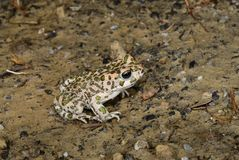 European green toad Royalty Free Stock Images