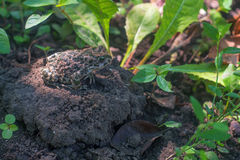 European green toad or Bufo viridis. Sits on the ground royalty free stock images