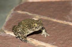 European green toad Bufo viridis. Sitting on a rock royalty free stock photos