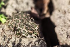 European green toad Bufo viridis sitting on the sand, selective focus . The common toad on nature background Royalty Free Stock Photography