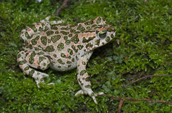 European green toad Bufotes viridis wandering on moss in an It Royalty Free Stock Photos