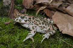 European green toad Bufotes viridis wandering on moss in an It Royalty Free Stock Images
