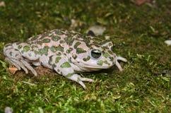 European green toad (Bufotes viridis) Stock Photo