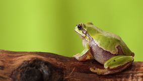 European green tree frog on a branch stock footage