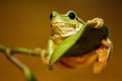 European green tree frog Hyla arborea formerly Rana arborea.  royalty free stock image