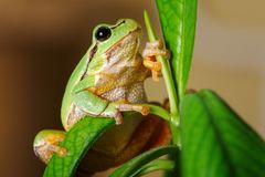 European green tree frog Hyla arborea formerly Rana arborea.  stock photography