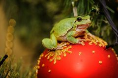 European green tree frog Hyla arborea formerly Rana arboreaon a christmas toy. European green tree frog Hyla arborea formerly Rana arboreaon a red christmas toy stock photography