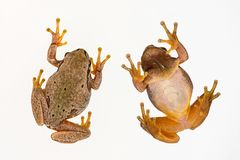 European green tree frog Hyla arborea isolated on white background. Top view.  royalty free stock image