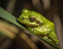 European green tree frog Hyla arborea in natural environment Stock Photo