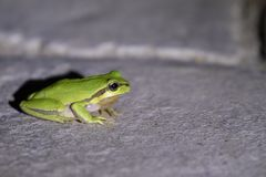 European green tree frog, Hyla arborea, resting by day, croaking by night in the wild in a cyprus garden. European green tree frog, Hyla arborea, resting by day stock images