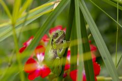 European green tree frog, Hyla arborea, resting by day, croaking by night in the wild in a cyprus garden. European green tree frog, Hyla arborea, resting by day stock photos